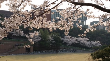 Cherry Blossoms at Sungkyunkwan University (2014)